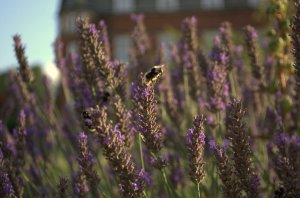 Evening bees